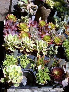 California succulents.