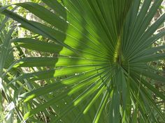 foliage/plant saw palmetto