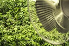 You have to control the climate in your grow room so that your cannabis plants can perform well, reach their potential, and avoid mold. Marijuana Plants, Cannabis Plant, Cannabis Cultivation, Growing Weed Indoors, Weed Pictures, Grow Room, Herbs, Bonito, Home