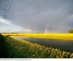canola field Red Deer ,Alberta