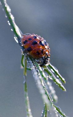 LaDEWbug (Ladybug covered in dew!)