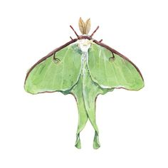 Watercolor illustration by studio tuesday: Luna Moth Watercolor Illustration