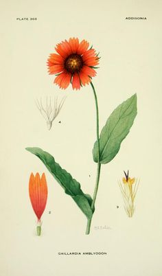 Blunt-toothed Gaillardia. Illustration by Mary E. Eaton from 'Addisonia' (1926). New York Botanical Garden archive.org