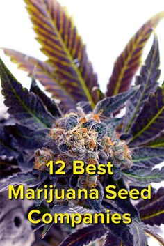 How to Grow Weed: 12 Best Marijuana Seed Companies