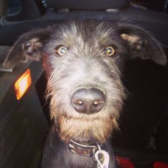 Milo - Bedlington Terrier Whippet Lurcher 24 weeks