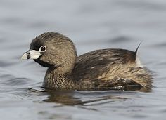 Pied-billed Grebe. Common on lakes and ponds. Rarely seen flying. Prefers to sink of sight when danger is present.