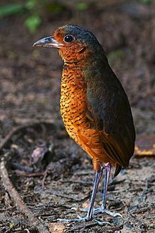 Giant antpitta (Galleria gigantic) Known only from Colombia and Ecuador.