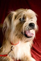Looks like Ollie! My name is Fozzie and I'm a two year old Lhasa Apso/Shih Tzu/Terrier mix who weighs about Shih Tzu Mix, Lhasa Apso, Australian Cattle Dog, Terrier Mix, Pets, Friends, Amigos, Boyfriends, Animals And Pets