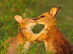 Young Wallabies, Northern Territories, Australia. WEBSHOTS