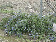 ceonothus joyce coulter | Ceanothus'Joyce Coulter' (Wild Lilac Hybrid)