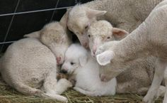 A puppy snuggling with some lamb friends.