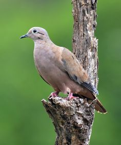 Eared dove (Zenaida auriculata), Woburn Mangrove Wetlands, Grenada, by Ted Lee Eubanks
