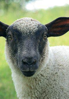 Farm Animals, Sheep Lamb, Sheep Goats, Faced Sheep, Face Sheep, Lambs Sheep…