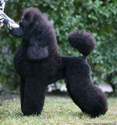 Fidel Berlin - Poodles In Scandinavia Tiny Toy Poodle, Poodle Mix, Black Miniature Poodle, Poodle Grooming, Dog Grooming, Mini Poodles, Toy Poodles, Standard Poodles For Sale, Cute Puppies