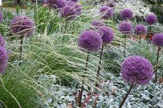 Plant Combinations, Flowerbeds Ideas, Spring Borders, Summer Borders, Allium Globemaster, Allium Purple sensation, Lamb's Ears, Stachys Byzantina, Atlas Fescue, Festuca Mairei
