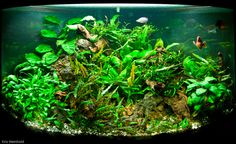 Low tech 'scape. Utilizes mostly java fern, anubias and crypts.