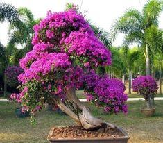 Bougainvillea Bonsai, Flowering Bonsai Tree, Bonsai Tree Types, Plantas Bonsai, Indoor Water Fountains, Garden Trees, How Beautiful, Color Mixing, Planting Flowers