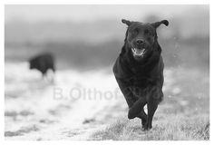 #Labrador retriever dogs  Like,Repin,Share, Thanks!
