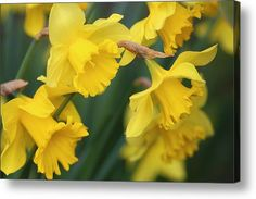 Spring In Yellow Acrylic Print By Rumyana Whitcher