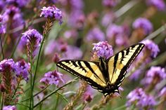 Western tiger butterfly at Santa Ana botanical garden by Edtak