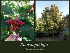ruotsinpihlaja - Sorbus intermedia