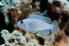 Neolamprologus multifasciatus   by sumertiwari