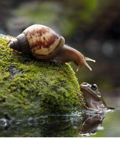 Liever lui dan moe. Deze kikker kiest nog liever voor een trage rit op de rug van een slak, dan zelf rond te springen. Fotograaf Nordin Seruyan (37) kon de...