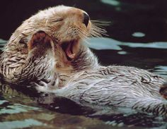 The sea otter is perfectly adapted for life in the kelp forest of Monterey Bay.