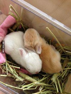 Netherland Dwarf rabbit babies at 2 weeks