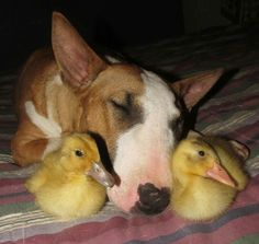 Bull Terrier and Duckies
