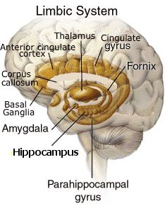 NeuroAnatomy: the limbic system