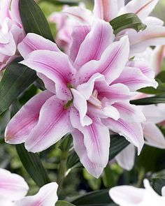 Belonica Double Rose Oriental Lily