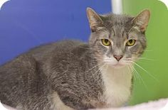 Philadelphia, PA   Facts about Dilly  Breed: Domestic Shorthair Color: Gray Or Blue Age: Adult Sex: Male ID#: 16096104 Hair: Unknown