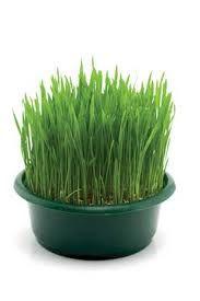 Indoor herb garden -- wheat grass