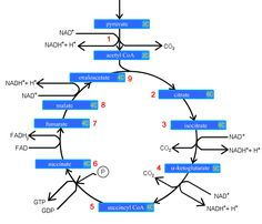 Krebs Cycle - understand this before you start feeling too ...