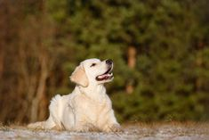 Another popular breed is the Labrador Retriever. This eager to please breed is bouncy and enjoys playing with her pack members. She loves to. Best Dogs For Kids, Low Maintenance Pets, Purebred Cats, Dogs Up For Adoption, Dog Spay, Guide Dog, Like A Cat, Best Dog Breeds, Dog Rules