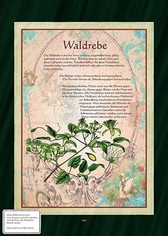 Waldrebe