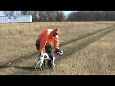 Free Hunting Dog Training Videos - Live Bird Retrieves - http://www.7tv.net/free-hunting-dog-training-videos-live-bird-retrieves/