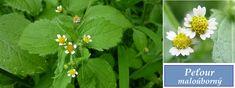 Peťour - účinky na zdraví, co léčí, použití, užívání, využití - Bylinky pro všechny