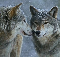 Winter Wolves by Gary's Photos