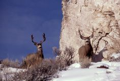 5 Tips for a Successful Mule Deer Hunt