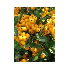pyracantha-soleil-d-or - would make a great hedge along front garden Green Garden, Garden Plants, Hedges, Orange, Yellow, Berries, Fruit, Tips, Garden Ideas