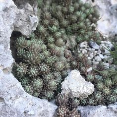 Well hello baby #succulent  #nature #top #transfer_visions_nm2 #tv_living #tv_nature #naturephotography #lefkada