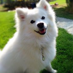I'm Kupo!, a vain, over privileged American Eskimo living in BC, Canada with my friend/roommate. Japanese Spitz Puppy, Doggies, Dogs And Puppies, Yorkie Names, Inigo Montoya, American Eskimo Dog, Pomsky, All About Animals, All I Ever Wanted
