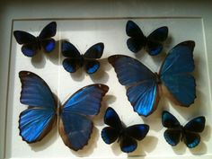Artistically preserved exotic butterflies brought to you by local entomologist, Gary Phipps of Carolina Wing Art (Belmont, NC) for sale in our Garden Store!