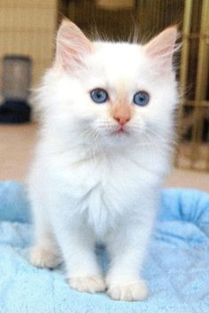 flame point ragdoll kitten. how adorable!