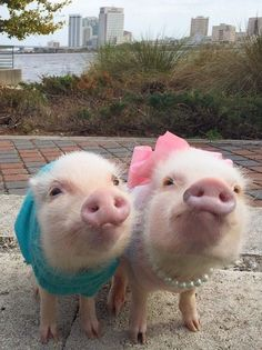 Priscilla is a tiny pig who is fond of the color pink & bows, and her younger brother Poppleton. I'm not a fan of dressing up animals, but these two are too cute! Cute Baby Pigs, Cute Piglets, Cute Baby Animals, Animals And Pets, Funny Animals, Cute Babies, Farm Animals, Tiny Pigs, Small Pet Pigs