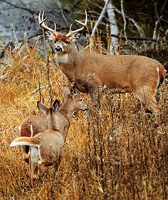 Photo by John Eriksson/Images on the Wildside When it comes to hunting the rut, sportsmen far and wide hang their hats on a lot of old information. But recent whitetail research allows us to reevaluate some of these misconceptions, and the new knowledge will help us hunt smarter. 1. Small Bucks Don't Get to Breed DoesThe myth stating that only big bucks breed does has been debunked in the pages of Outdoor Life before. Because of their size and age, younger bucks are at a disadvantage when…