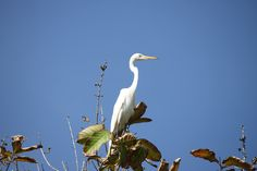 Great Egret (Ardea alba), On the top of tree, using Canon EOS, 500D, auto mode with zoom lens 55-250mm, ISO-100, shutter sped 1/400 sec, Apeture f/7,1.Taken from below.