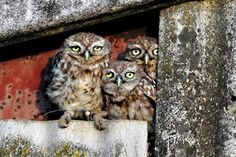 Andy Rouse - Wildlife Photographer| Little Owl Project